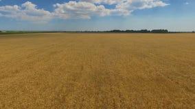 Champ de blé dans la campagne ciel bleu avec les nuages blancs ci-dessus banque de vidéos