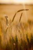 Champ de blé dans le coucher du soleil Image libre de droits