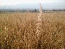 Champ de blé dans Macédoine Photo libre de droits