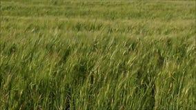 Champ de blé de balancement banque de vidéos