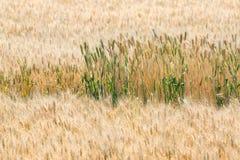Champ de blé de lumière du jour Image stock