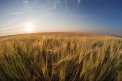 Champ de blé Photographie stock libre de droits