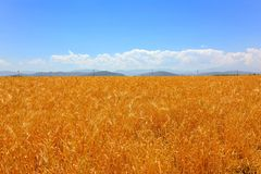 Champ de blé dessus Photographie stock