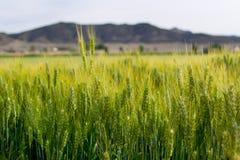 Champ de blé devant une montagne images libres de droits