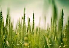 Champ de blé en début de l'été photographie stock