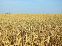 Champ de blé et ciel bleu, Lithuanie Photographie stock libre de droits