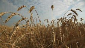 Champ de blé et ciel scénique banque de vidéos