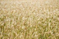Champ de blé et ensoleillé d'or Photographie stock libre de droits