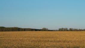 Champ de blé fauché sous un ciel bleu banque de vidéos