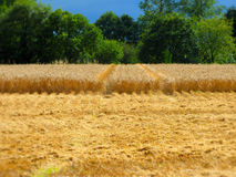 Champ de blé frais de coupe photos stock