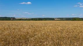 Champ de blé jaune Image libre de droits