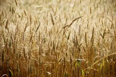 Champ de blé jaune dans le coucher du soleil photo libre de droits