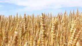 Champ de blé jaune prêt pour la récolte banque de vidéos