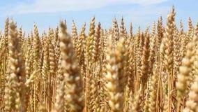 Champ de blé jaune prêt pour la récolte 2 banque de vidéos