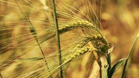 Champ de blé lentement soufflé par la vue de fin de vent banque de vidéos