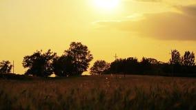 Champ de blé lentement soufflé par la vue de fin de vent avec le ciel et les arbres sur le fond banque de vidéos