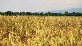 Champ de blé lentement soufflé par le vent avec la forêt sur le fond clips vidéos