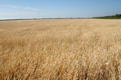 Champ de blé mûr du ciel à l'arrière-plan Photographie stock
