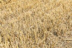 Champ de blé moissonné image stock