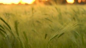 Champ de blé ou d'orge soufflant dans le vent au coucher du soleil ou au lever de soleil clips vidéos