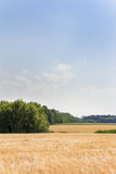 Champ de blé par jour d'été photos libres de droits