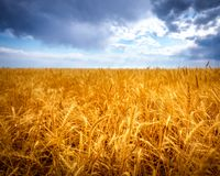 Champ de blé pendant l'été Photos libres de droits