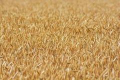 Champ de blé prêt à être moissonné Foyer sélectif photo libre de droits
