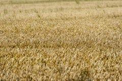 Champ de blé prêt à moissonner Image stock