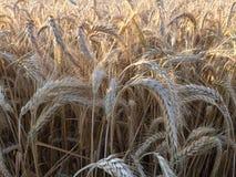 Champ de blé prêt pour la récolte Photos libres de droits