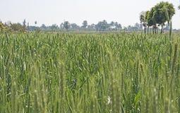 Champ de blé s'élevant dans le pré rural de ferme Photos stock