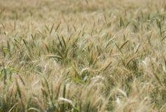 Champ de blé s'élevant dans le pré rural de ferme Photos libres de droits
