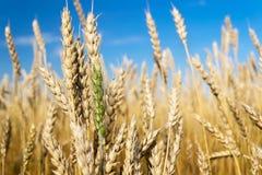 Champ de blé sur le ciel bleu Image libre de droits