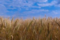 Champ de blé sur le fond de ciel bleu Images stock