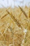 Champ de blé, transitoire de blé sur le champ photos libres de droits
