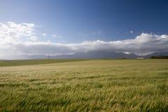 Champ de blé venteux Photographie stock libre de droits