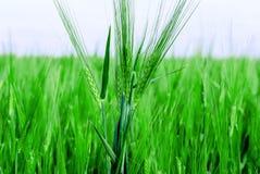 Champ de blé vert Photographie stock