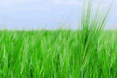 Champ de blé vert Photo libre de droits