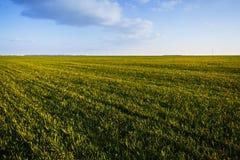 Champ de blé vert Images libres de droits