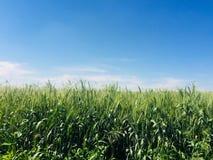 Champ de blé vert agricole dans le jour ensoleillé photographie stock
