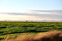 Champ de blé vert au coucher du soleil photo libre de droits