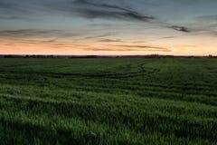 Champ de blé vert au crépuscule de soirée Photos stock
