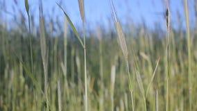 Champ de blé vert ensoleillé banque de vidéos