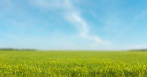 Champ de blé de vert vif au-dessus de ciel bleu, nature photographie stock libre de droits