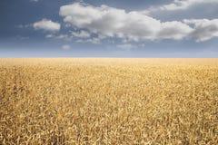 Champ de blés Photos libres de droits