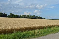 Champ de blé en Illinois du sud Image stock