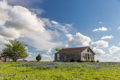 Champ de bluebonnet de Texas et grange d'abandon dans Ennis, le Texas Photos libres de droits