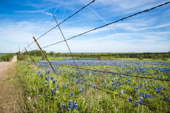 Champ de Bluebonnet en ressort du Texas photographie stock libre de droits