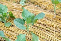 champ de brocoli chinois Image stock