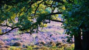 Champ de bruyère au soleil sous l'arbre images libres de droits