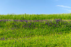 Champ de campagne, wildflowers pourpres Photographie stock